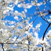 Sakura Falling Free LWP