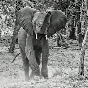Mock charge by Philip McKibbin - Black & White Animals ( wrinkles, trunk, charge, elephant, bush, africa, tusks, large, skin, giant )