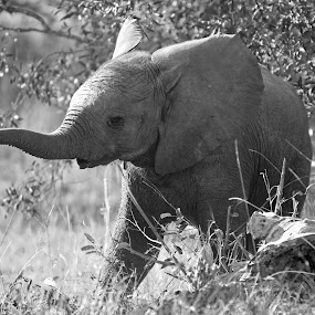 A Little Elle! by Anthony Goldman - Black & White Animals ( wild, elephant, b & w, baby, africa, ulusaba, mammal, , Africa, Safari )