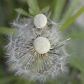 bijna weg  by Kathelijn Vlaemynck - Flowers Flowers in the Wild