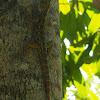 Oriental garden lizard / Changeable lizard