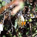 Sara orangetip, Pacific orangetip