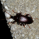 ? Comb-clawed Beetle