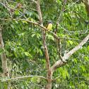 Lesser kiskadee