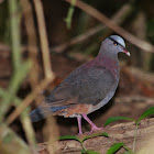 Grey-headed Quail-Dove