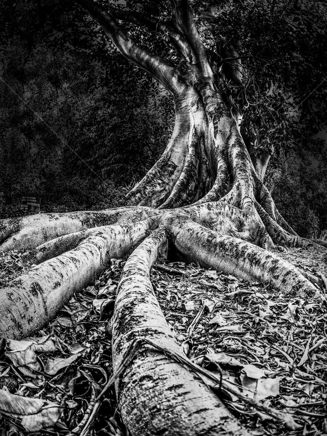 Morton Bay Fig by Gary Beresford - Black & White Flowers & Plants ( fisheye, root, fig, australia, morton bay, botanical )