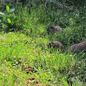 Marmot (Woodchuck - Groundhog) Family