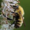 yellow fuzzy bumblebee