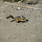 Yellow pine chipmunk