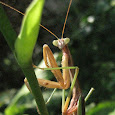 Marvelous Mantids of the World
