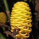 Beehive Ginger - Maracas