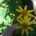 Fireweed groundsel
