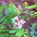 Rose acacia