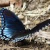 Astyanax Red spotted purple butterfly
