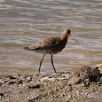 Birds of the Colne Estuary