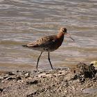 Black-tailed Godwit (summer)