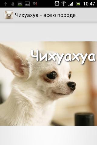 Чихуахуа - уход за собакой