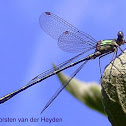 Western Willow Spreadwing