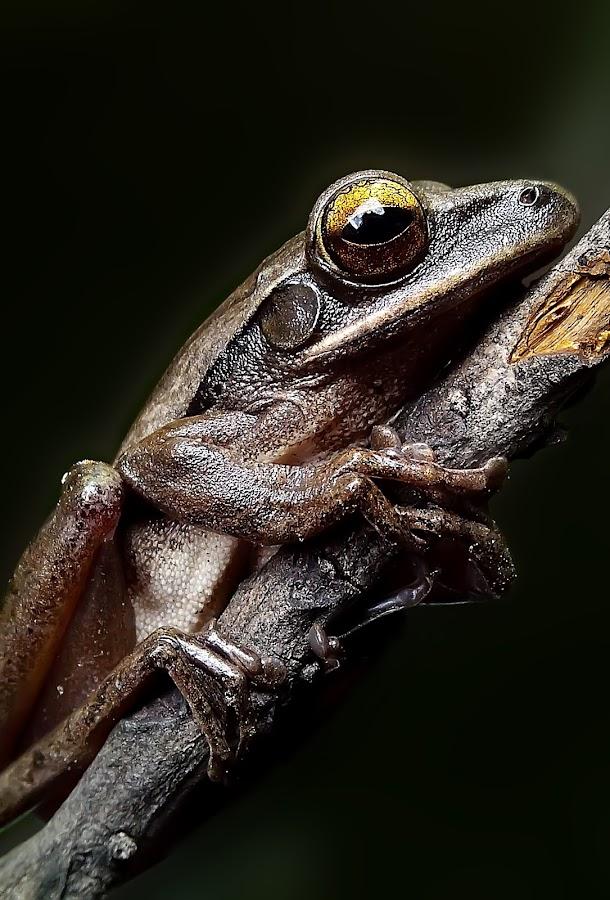common tree frog  by Hendrata Yoga Surya - Instagram & Mobile Android ( common tree frog, frog, katak, amphibians )