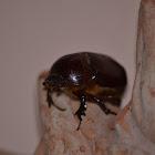 European rhinoceros beetle (female)