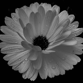 Flower - B&W by Ravi Prakash - Black & White Flowers & Plants ( b&w, nature, india, beauty, garden, flower,  )