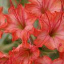 Scarlet Musk-Flower