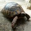 Hermann's Tortoise / Obična čančara ♀