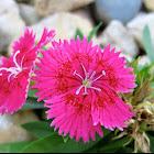 China Pink