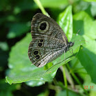 Common Five-ring Butterfly