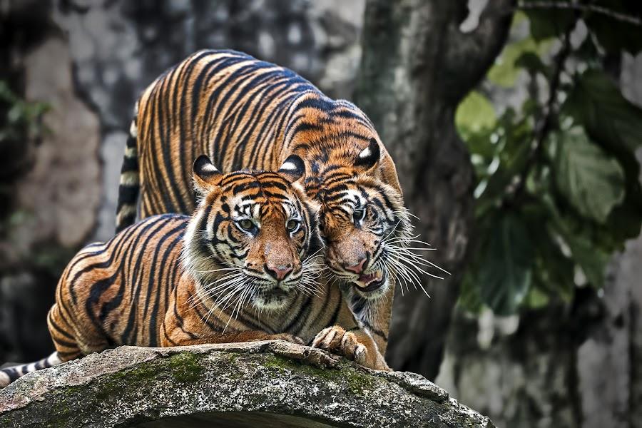Just You & I by Aditya Permana - Animals Lions, Tigers & Big Cats (  )