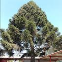 Araucaria Japonica