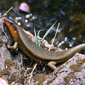 Chameleon, Cisarua, 2012 by Diadjeng Laraswati H - Animals Reptiles ( reptiles, green, colors, backyard, living creatures, daily life, insects )