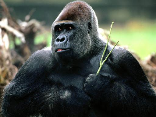 大猩猩壁紙