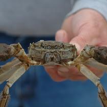 Mitten Crab Watch