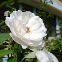 Rosa Blanca..