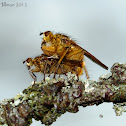 Yellow Dung Flies