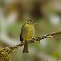 Yellowish Flycatcher. Mosquerito amarillento