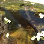 Baja tree frog tadpole