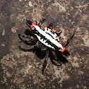 Spiny Orb-weaver spider