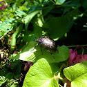 oriental flower beetle