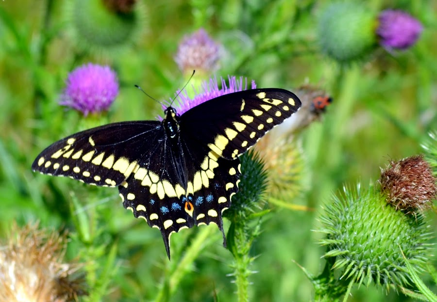Black swallowtail butterfly by Ross Dobson - Animals Insects & Spiders