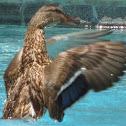 Mallard/Wild Duck (female)