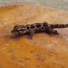 Kollegal Ground Gecko