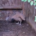 Baby buzzard or vultures