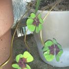 Shamrock Four Leaf Clover - Iron Cross
