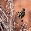 Lesser Honeyguide