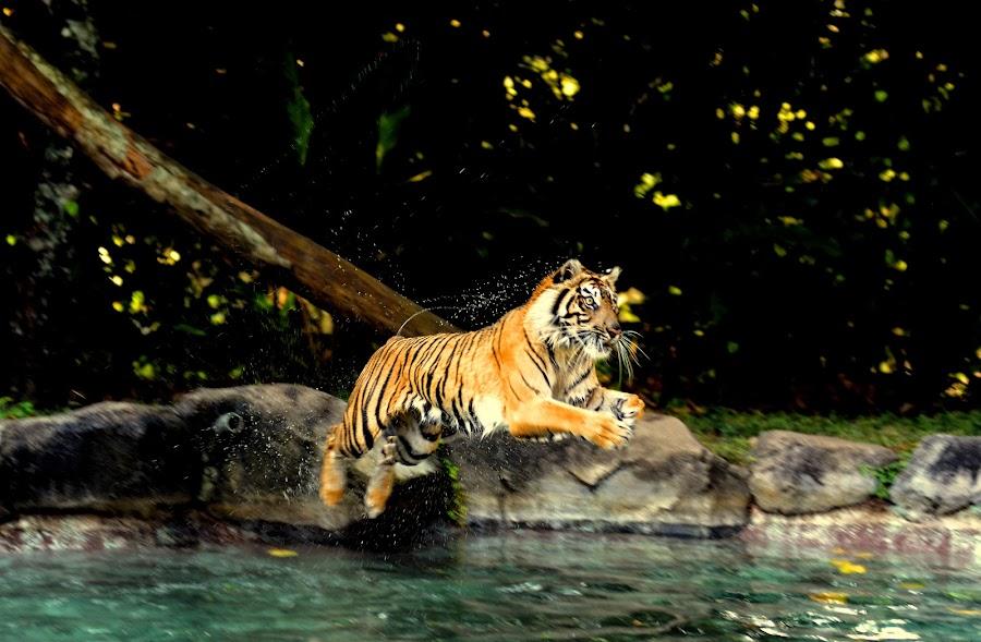 Big Jump ......... by Idda Purwaningtiyas - Animals Lions, Tigers & Big Cats (  )
