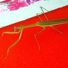 Unidentified Praying Mantis