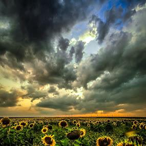 sunset of sunflower by Lupu Radu - Landscapes Prairies, Meadows & Fields ( field, windpower, dobrogea, sunset, sunflower, , #GARYFONGDRAMATICLIGHT, #WTFBOBDAVIS )