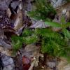 Running Ground Pine